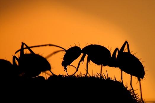 Dünya üzerinde yaşayan en kalabalık nüfusa sahip ve en çalışkan böceklerden karıncalar, Van'da gün batımı saatlerinde oluşan kızıllıkla çiçekli bitkilerin üzerinde güzel görüntüler oluşturdu. FOTOĞRAFLAR: ÖZKAN BİLGİN – AA