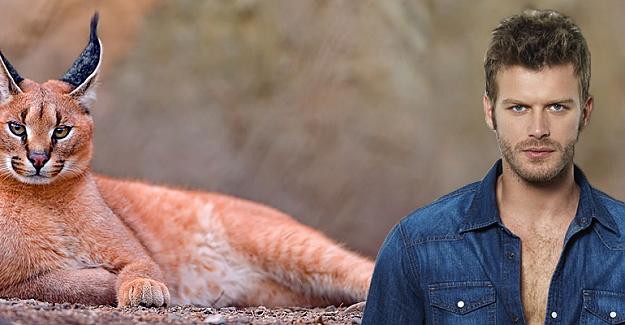 Kıvanç Tatlıtuğ'un yabani kedi sevdası