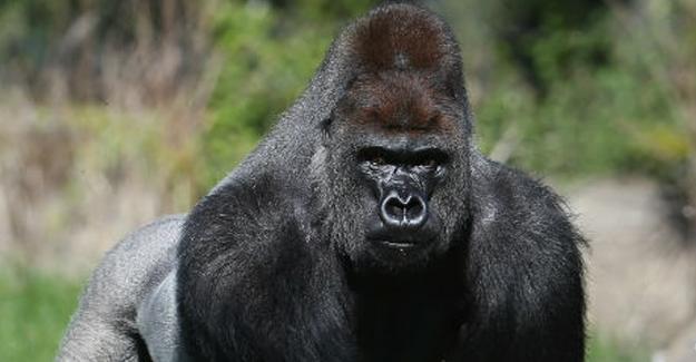 Goril Harambe, ABD başkanlık seçimlerinde kaç oy aldı?