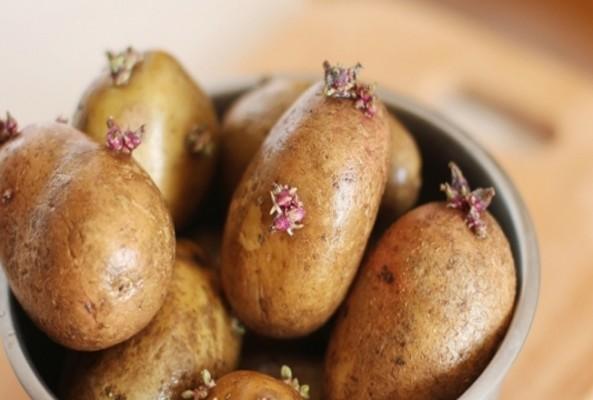 Filizlenmiş patatesi yemeyin