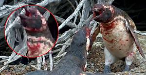 Eşini başka erkekle basan penguen şiddette insanları aratmadı!