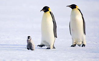 Penguenden karda yürüme dersi!