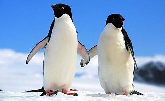 Antartika'da 40 bin penguenden sadece 2'si hayatta kaldı