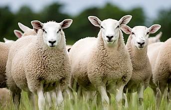 Organize koyun hırsızlığına yeni önlem