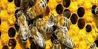 Antibiyotik yerine bal arısı!