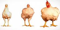 Tavukla ilgili şaşırtan gerçek