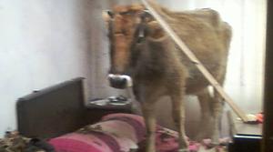 Yatak odasına damdan inek düştü