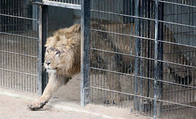 Almanya'da ikişer aslan ve kaplan hayvanat bahçesinden kaçtı