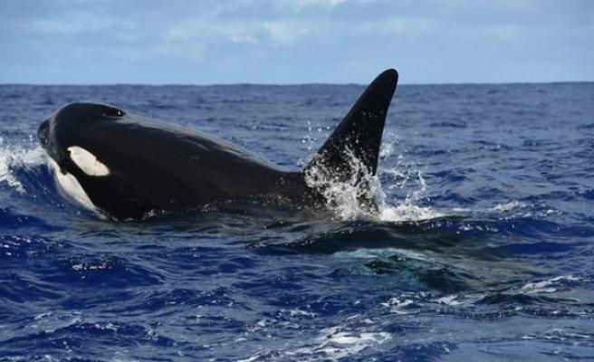 Japonya ticari balina avcılığına yeniden başlıyor