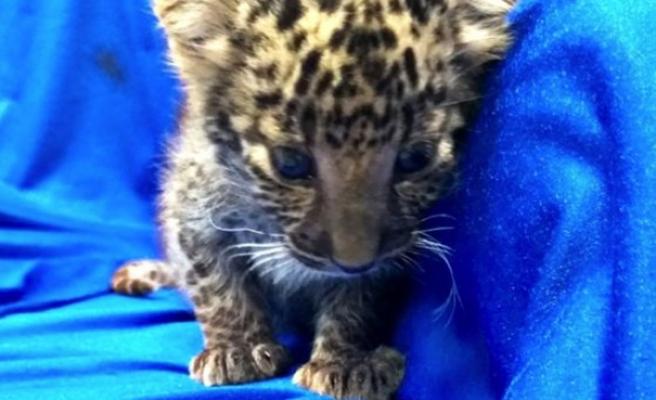 Uçak yolcusunun bavulunda leopar yavrusu çıktı