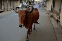 Koronavirüsten korunmak için ineğin dışkısıyla duş aldılar