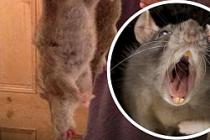 Dev fareler ülkeyi tehdit ediyor!