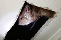 Kedi büyüklüğünde fare yakalandı