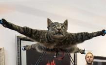 Kedisini drone yaptı, şimdi sırada inek var