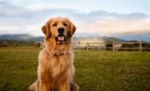 Londra'da 32 bin sterlin yıllık brüt maaşla köpek bakıcısı ilanı