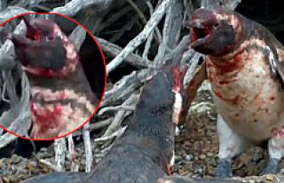 Eşini başka erkekle basan penguen şiddette insanları...