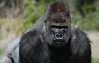 Goril Harambe, ABD başkanlık seçimlerinde kaç...