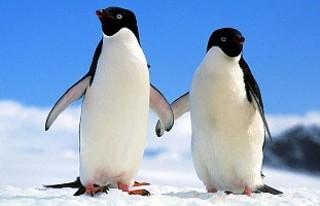 Antartika'da 40 bin penguenden sadece 2'si...