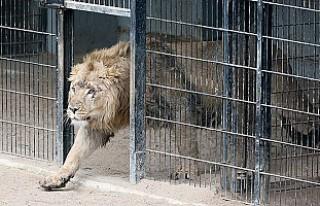 Almanya'da ikişer aslan ve kaplan hayvanat bahçesinden...