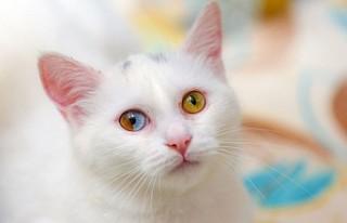 Gözleri iki renkli Van kedisine koruma