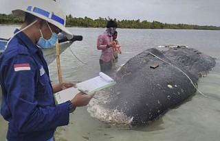 Ölü balinanın midesinden 1000 parça plastik atık...