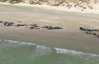 Yeni Zelanda'da sahile vuran 150'ye yakın...