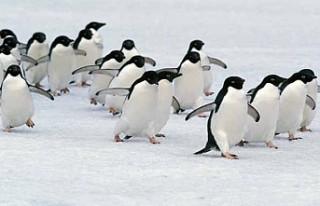 Antarktika'da buz tabakası parçalandı, binlerce...