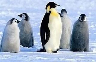 Yeni Zelanda'da 'insan boyutunda' penguenlerin...