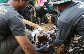 Tayland'da Budist tapınağından kurtarılan...