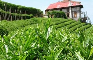 Türk çayı 2019'da 15 milyon dolar kazandırdı