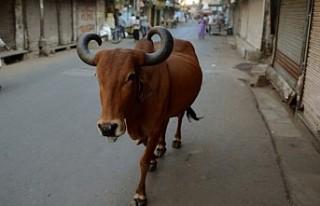 Koronavirüsten korunmak için ineğin dışkısıyla...