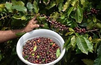 Türkiye'de ilk kez kahve meyvesi üretti